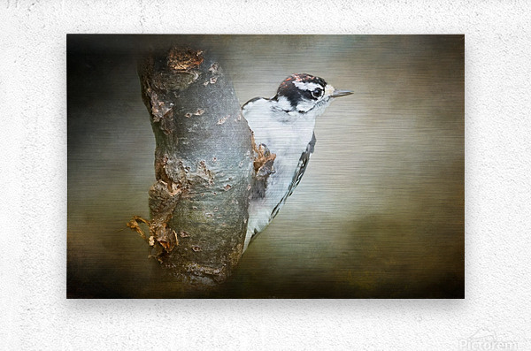 Juvenile male Downy Woodpecker  Metal print