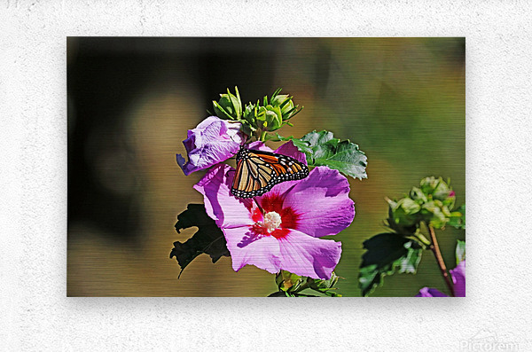 Monarch And Rose Of Sharon  Metal print