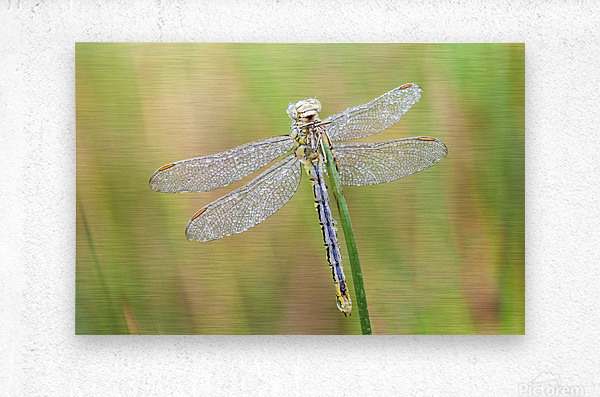 An Fire dragonfly  Metal print