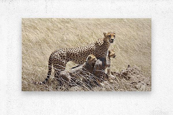 Mama Cheetah  Metal print