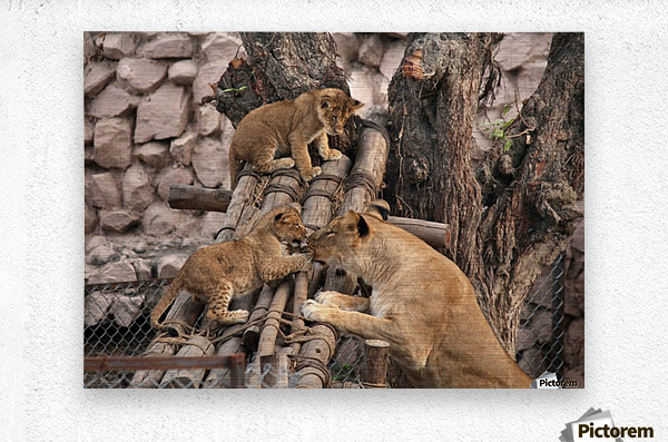 Lioness baby in Lucknow Zoo (1)  Metal print