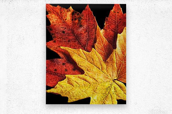 Fall Maple Leaves 2  Metal print