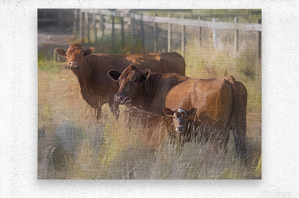 Three Cows   Metal print