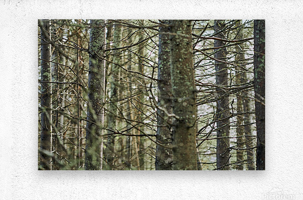 Trees in forest Mauricie National Park Quebec Canada  Metal print