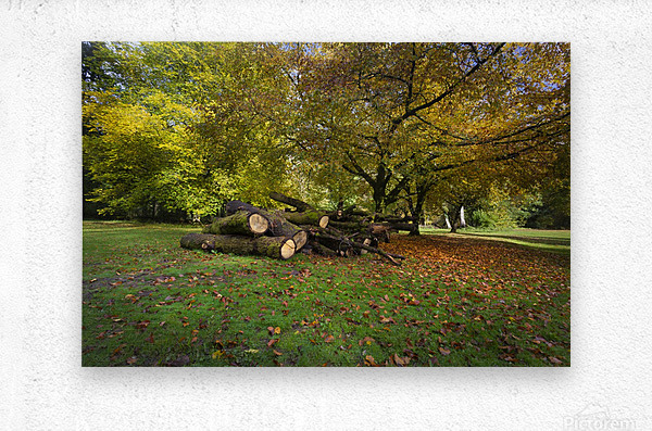 Autumn leaves and cut trees  Metal print