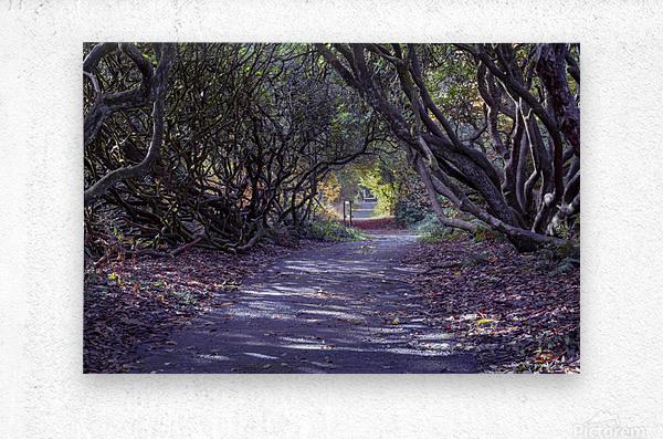 Tree lined Rhododendron walkway  Metal print