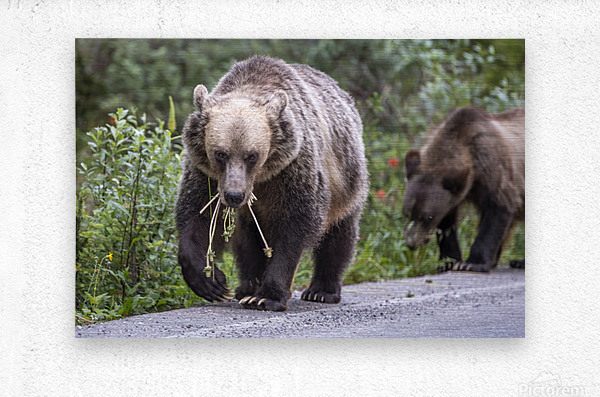Grizzly Bear - Mouth Full  Metal print