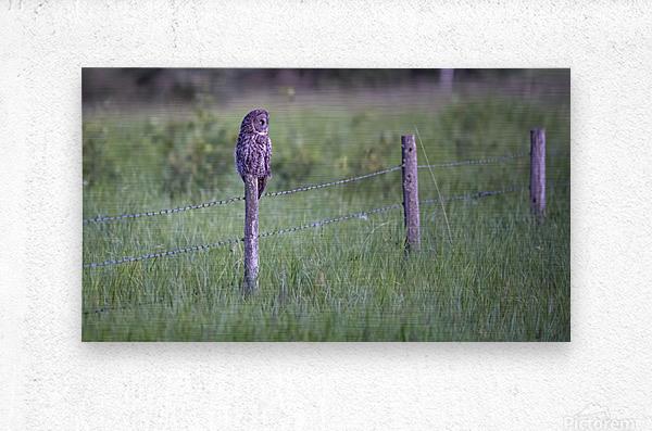 0077 - Great Grey Owl Fence Line Hunter  Metal print