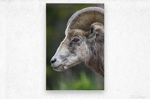 5512 - Big Horn Sheep  Metal print