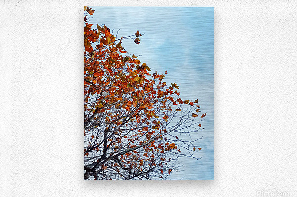 Tree branch with orange autumn leaves and blue cloudy sky  Metal print