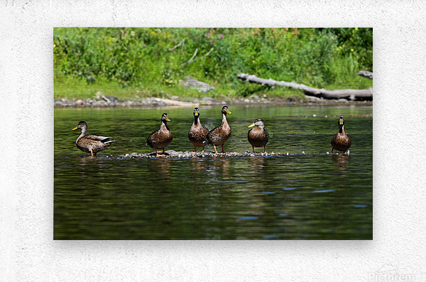 What the duck  Metal print