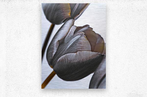Tulip flowers on white background  Metal print