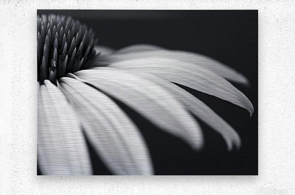 Coneflower close-up  Metal print