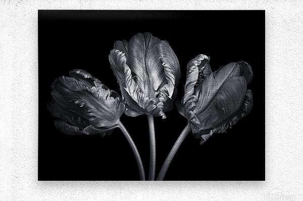 Three rococo tulips close-up  Metal print
