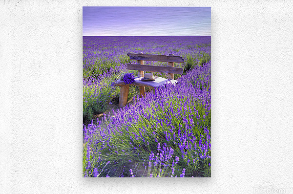 Bench in Lavender field  Metal print