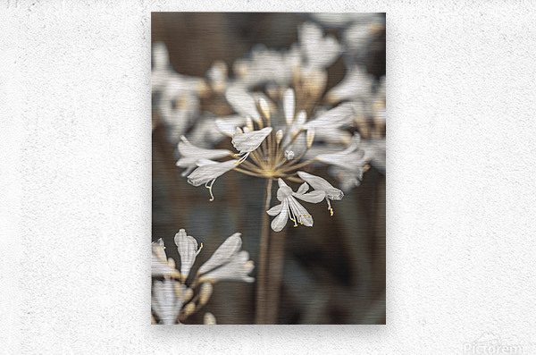 African Lilies  Metal print