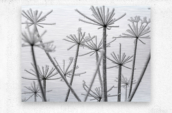 Frosty cow parsley  Metal print