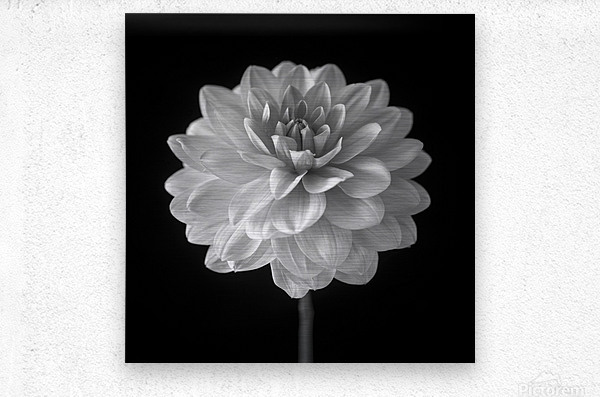 Dahlia flower on black background  Metal print