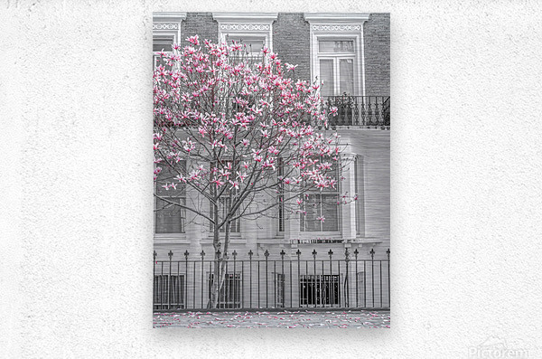 Magnolia tree outside house in London  Metal print