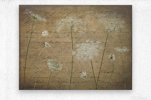 Cow parsley flowers on coloured background  Metal print