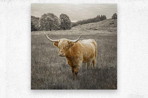 Highland Cows  Metal print