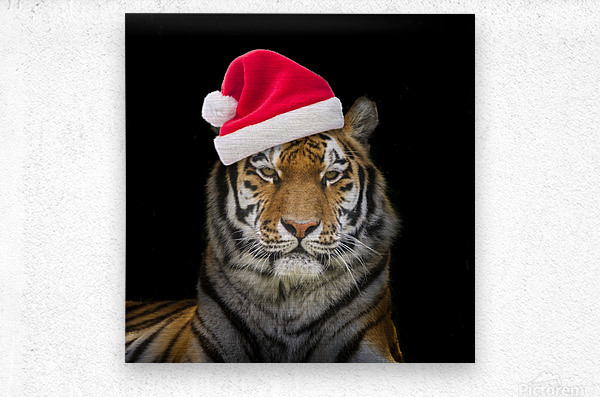 Tiger with Santa hat  Metal print