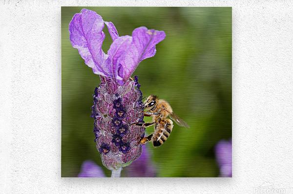Bee On Lavender  Metal print