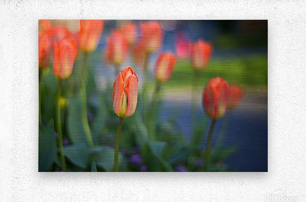 Tulips For You  Metal print