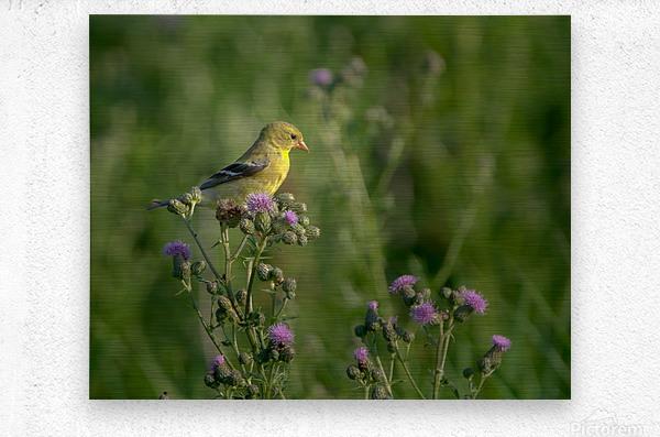 Goldfinch Female  Metal print