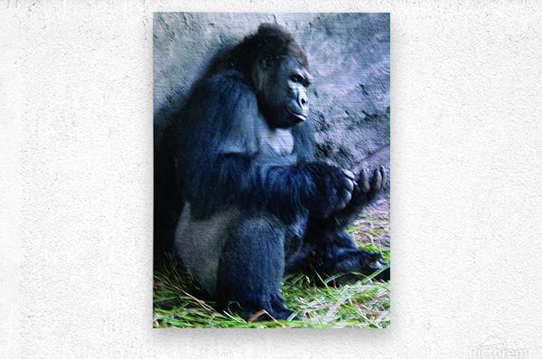 Alone Mountain Gorilla Africa  Metal print