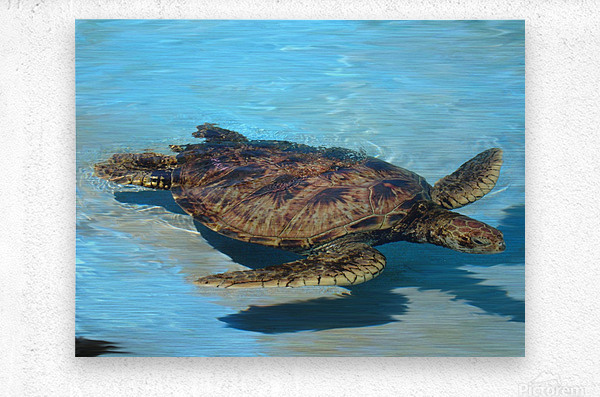 Sea Turtle - Natural World Kids Gallery  Metal print