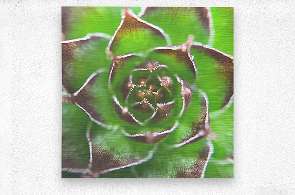 20_Green Succulent Perennial - Verte Vivace_9780_CLEAR SQUARE  Metal print