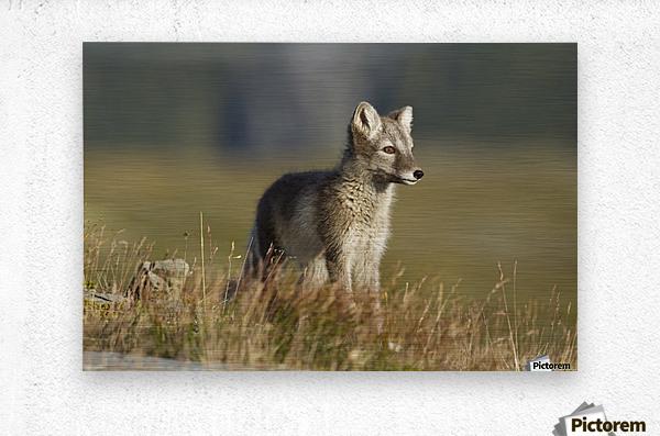 Arctic Fox Puppie by Karen Kolbeck   Metal print