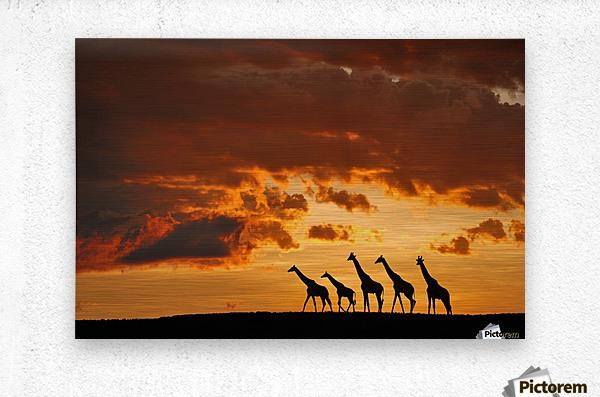 Five Giraffes  Metal print