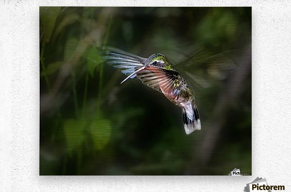 Hummingbird 1B by Leigh Pelton   Metal print