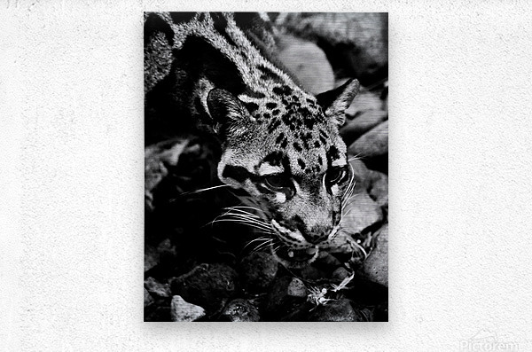 SPOTTED CAT  Metal print