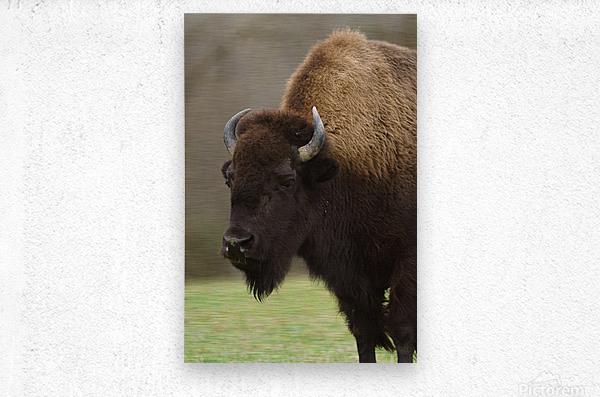 North American Buffalo  Metal print