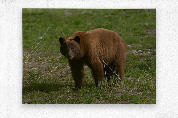 Cinnamon Black Bear  Metal print