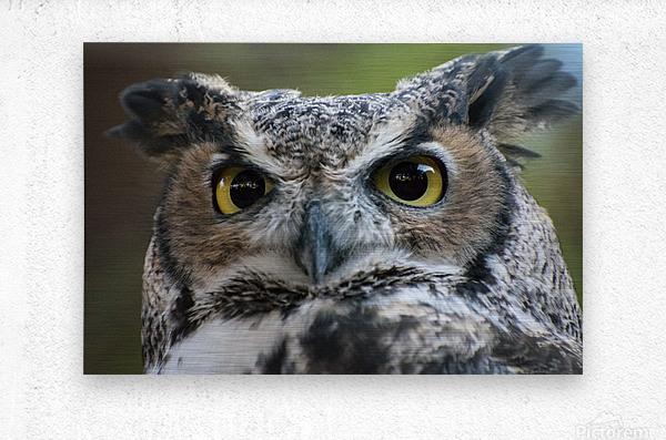 Owl  5  Metal print