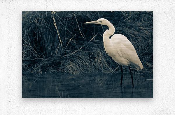 Great White Egret ap 1839 B&W  Metal print