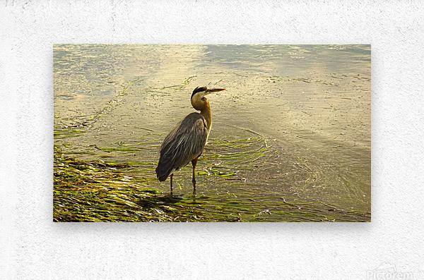 Blue Heron At the Estuary  Metal print