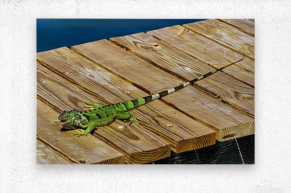 Cayman Green Iguana Eating  Metal print