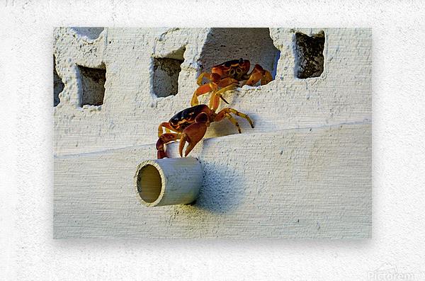 Cayman Crabs  Metal print