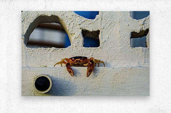 Cayman Crab Hanging Out  Metal print