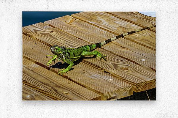 Cayman Green Iguana On Alert  Metal print