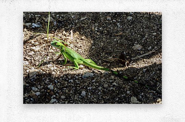Cayman Young Green Iguana   Metal print