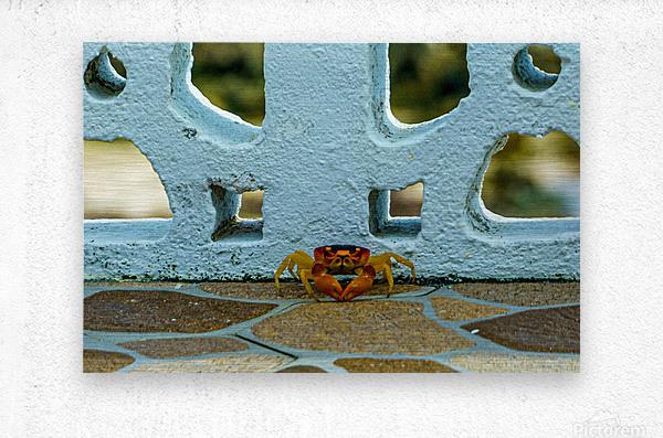 Cayman Crab  Metal print