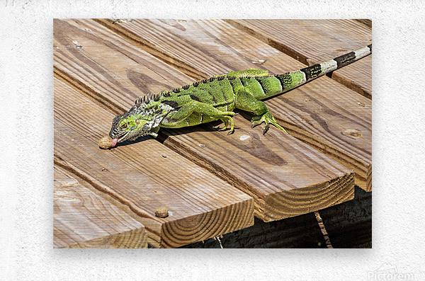 Cayman Green Iguana Snacking  Metal print