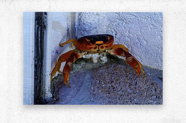 Cayman Cornered Crab  Metal print