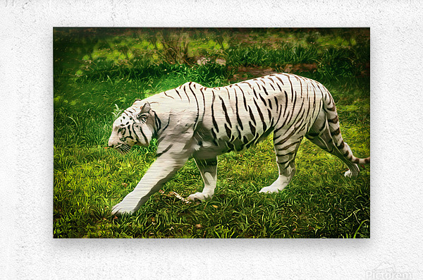 White Bengal Tiger  Metal print